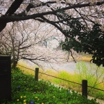 桜満開の犀川沿い……