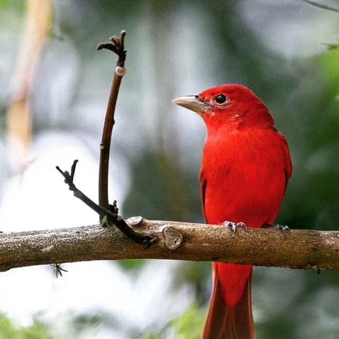 赤い鳥小鳥赤い鳥 小鳥なぜなぜ赤い赤い実... - 金沢片町るたん
