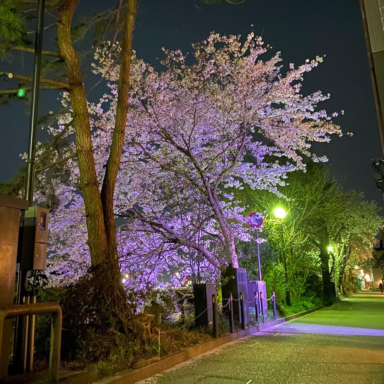 夜桜も綺麗ですね艶やかで綺麗そろそろ散り... - 金沢片町るたん